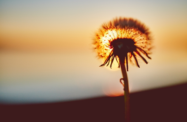 dandelion-sunset-flower-shadow-dandelion